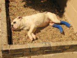 MidAtlantic Bulldog Rescue - English Bulldog Rescue in NJ/NY/PA/MD/DE